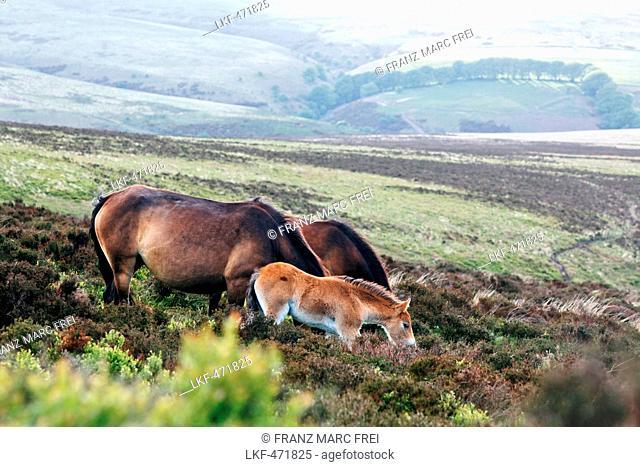 Exmoor Ponies, Wild horses, Exmoor, near Porlock, Somerset, England, Great Britain