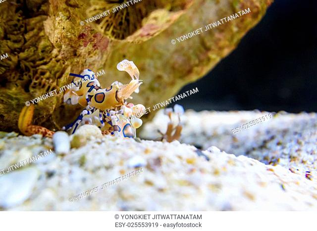Harlequin shrimp or Hymenocera picta is a species of saltwater shrimp found at coral reefs in the tropical