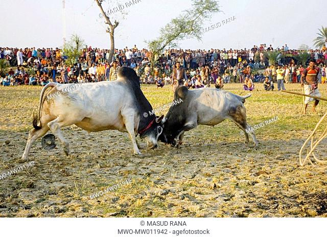The annual bull fight, locally known as Sharer Ladai, at Thopadigram, Khulna, Bangladehs January 6, 2008