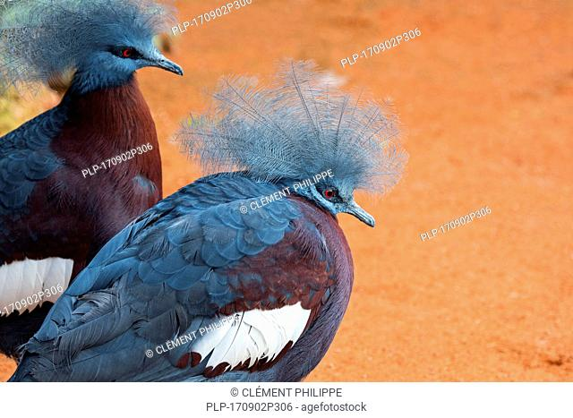 Southern crowned pigeon (Goura scheepmakeri) terrestrial pigeon native to the southern lowland forests of New Guinea