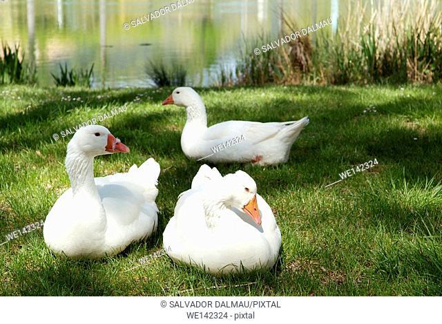 white geese on the lake,anseranas semipalmata, location lake banyoles,girona,catalonia,spain europe,