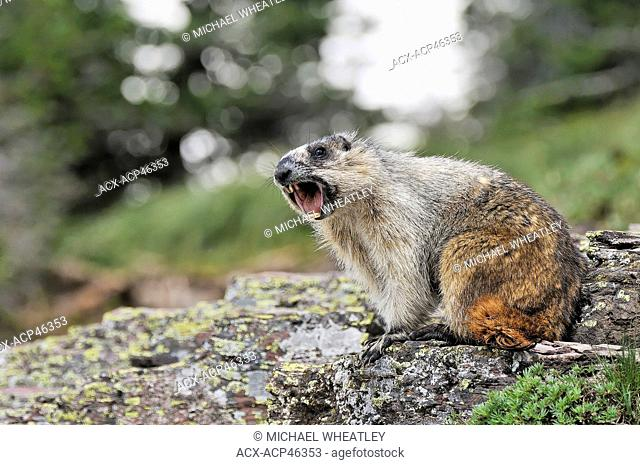 Yellow-bellied marmot Marmota flaviventris whistling, Glacier National Park, Montana, United States of America