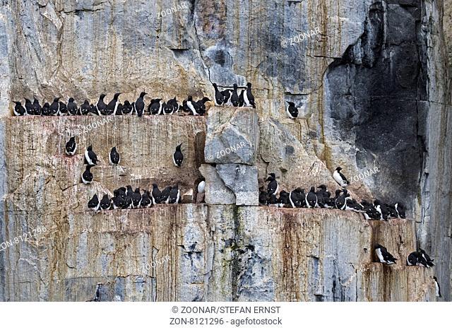 Vogelfelsen Alkefjellet, bewohnt von Dickschnabellummen, Spitzbergen, Norwegen, Europa / Alkefjellet bird cliffs, inhabited by Thick-billed Murres or Brünnich's...