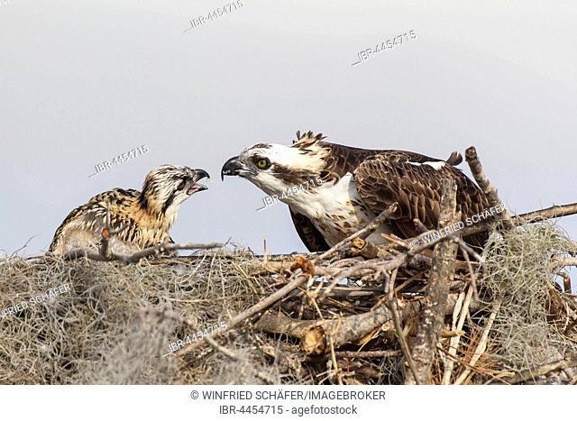 Adult osprey (Pandion haliaetus carolinensis) feeding young in nest, Everglades, Florida, USA