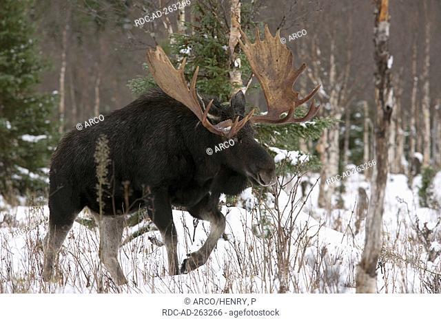 Moose bull Gaspesie national park Quebec Canada Alces alces