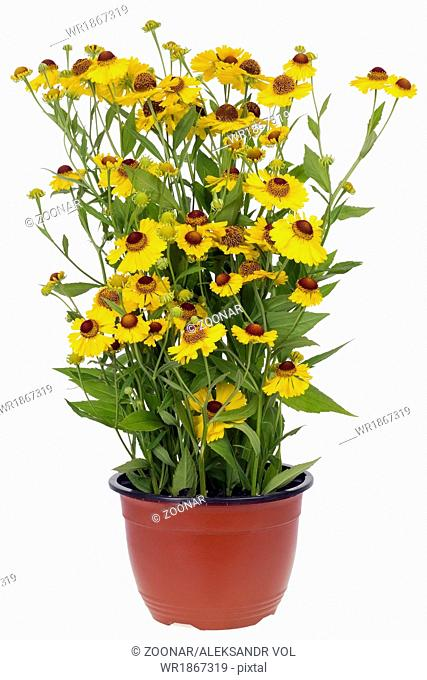 Bush of Coreopsis flowers in pot