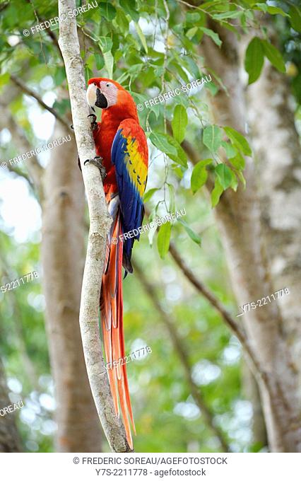 Macaw perched on branch in Tikal, Guatemala, Central America
