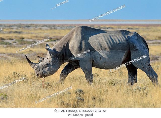 Black rhinoceros (Diceros bicornis), adult male, grazing, Etosha National Park, Namibia, Africa