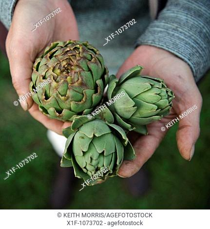 Close up of the hands of a woman holding three fresh artichokes she has grown herself on her allotment garden in the UK