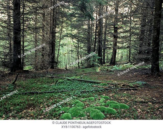 Undergrowth, Québec, Canada