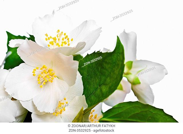 Flower of jasmine isolated on white background