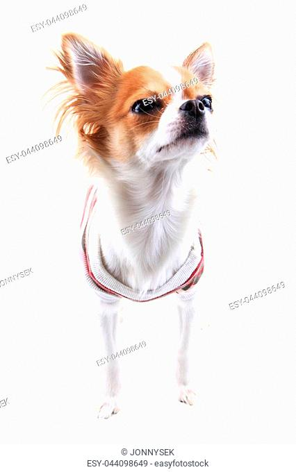 small chihuahua in the different clothes isolated on the white background