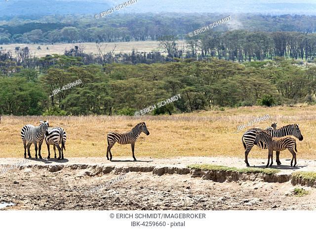 Plains zebras, also common zebras or Burchell's zebras (Equus quagga) with foals, Lake Nakuru National Park, Kenya