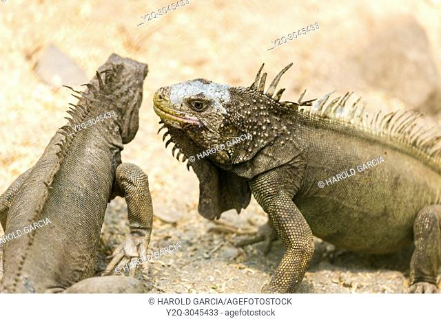 Large adult Green Iguanas sunbathing near the ocean in Santa Marta. Colombia, South America