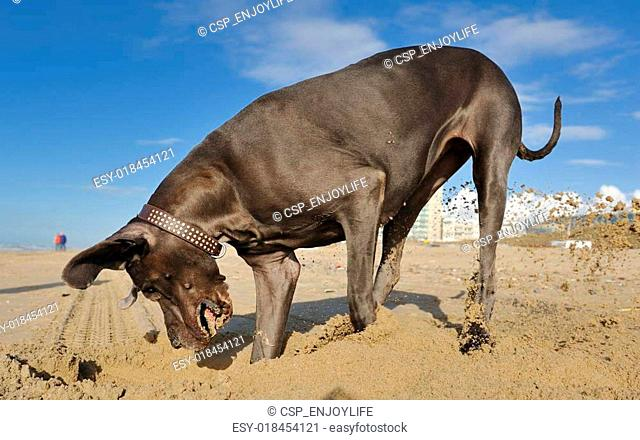 Great Dane playing with sand