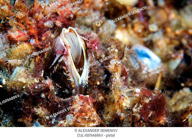 Balanus balanus barnacle