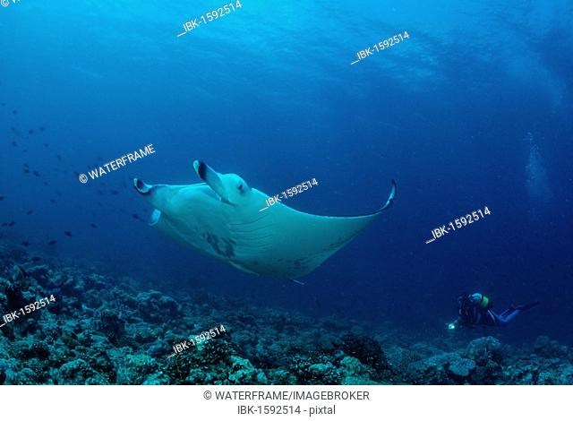 Manta Ray (Manta birostris) and a scuba diver, Maldives, Indian Ocean