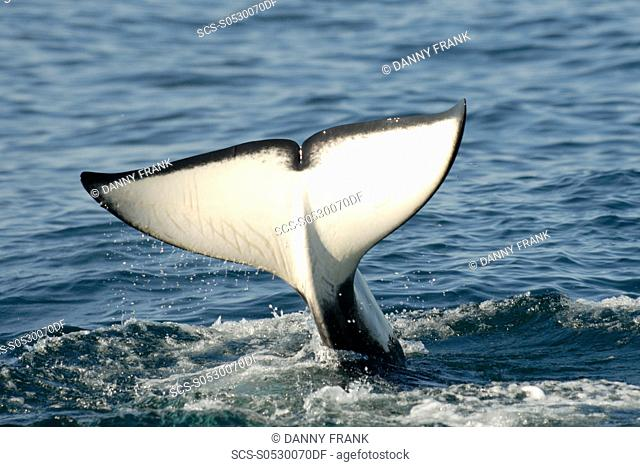 Killer whale Orcinus orca tail fluke,Monterey bay national marine sanctuary,California,usa,east pacific ocean