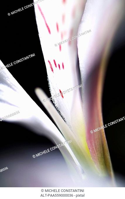 Alstroemeria lily, extreme close-up