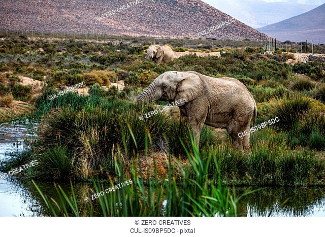 African elephants (Loxodonta) grazing, Touws River, Western Cape, South Africa