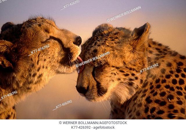Cheetahs, Siblings. (Acinonyx jubatus). Captive. Namibia. Gamefarm