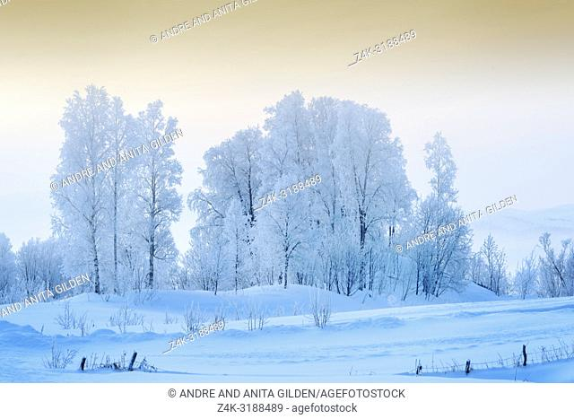 Snowcovered trees in arctic Norway during polar night, Balsfjord, Norway