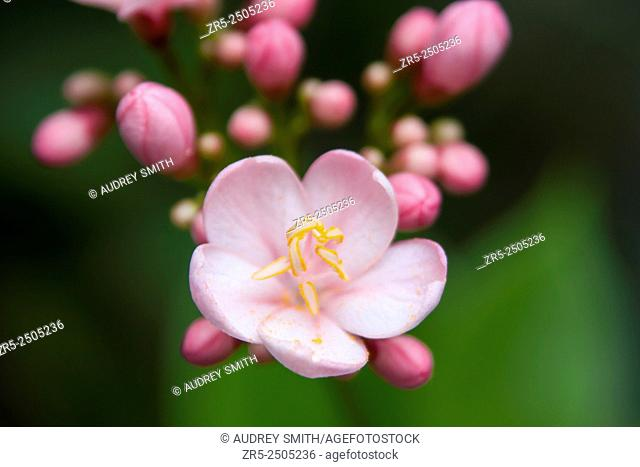 The small bloom cluster of a beautiful pink jatropha flower and tiny buds; Florida, USA