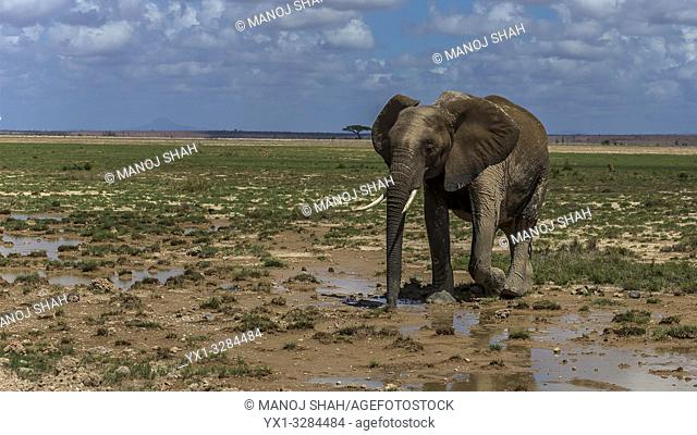 African Elephant feeding in the marsh in Amboselli National Park