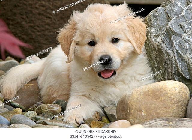 Golden Retriever. Female puppy (7 weeks old) lying among rocks. Germany