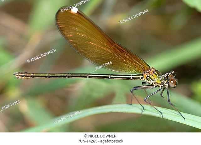 Close-up of a female beautiful demoiselle Calopteryx virgo showing the typical green/yellow metallic colouration of the female of the species Resting on grasses...