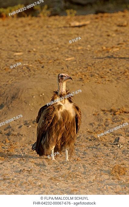Hooded Vulture Necrosyrtes monachus adult, standing, Chobe, Botswana