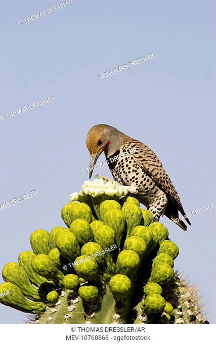 Gilded Flicker - Foraging for nectar at the flower of a Giant Saguaro (Carnegiea gigantea). (Colaptes chrysoides)