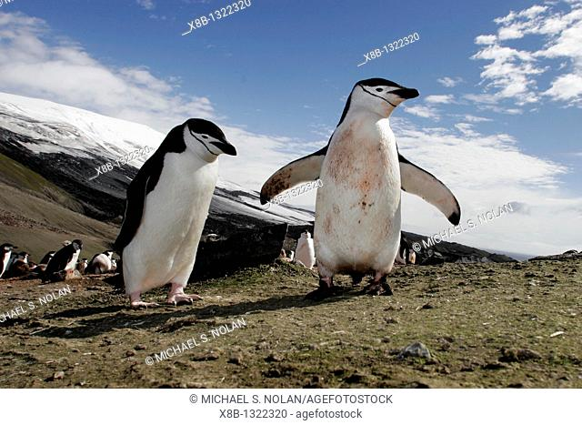 Chinstrap penguins Pygoscelis antarctica in a huge colony at Baily Head on Deception Island in Bransfield Strait off the Antarctic Peninsula