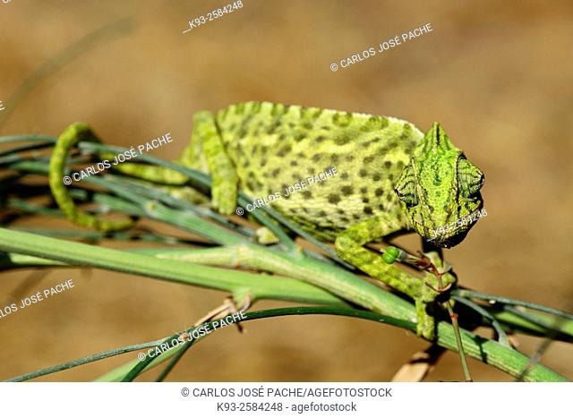 Chameleon (Chamaeleo chamaeleon), Doñana National Park, Andalusia, Spain