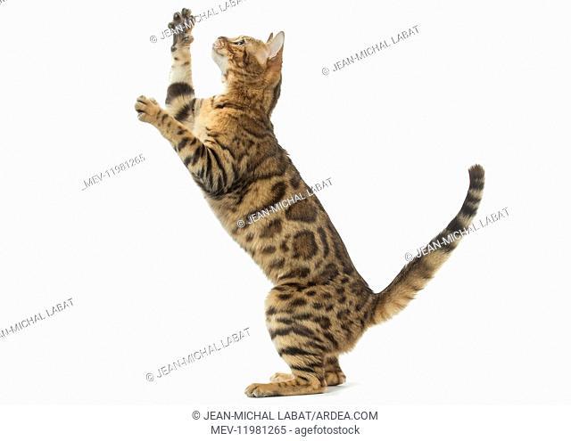 Bengal Cat, on hind legs