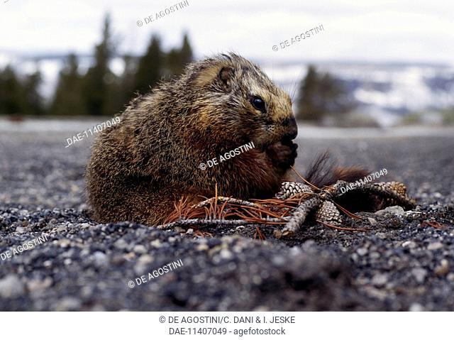Yellow-bellied marmot (Marmota flaviventris), Sciuridae