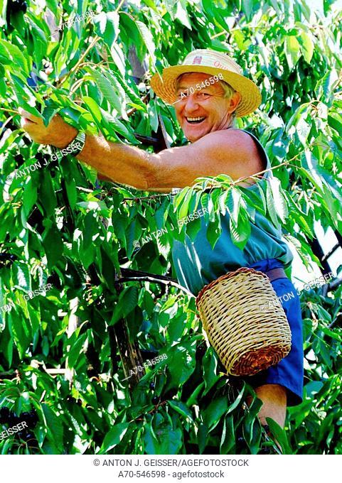 Man picking cherries. Fricktal. Aargau. Switzerland