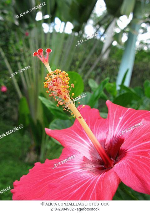 Hibiscus pink close up