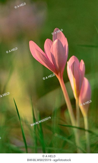 meadow saffron Colchicum autumnale, flowers