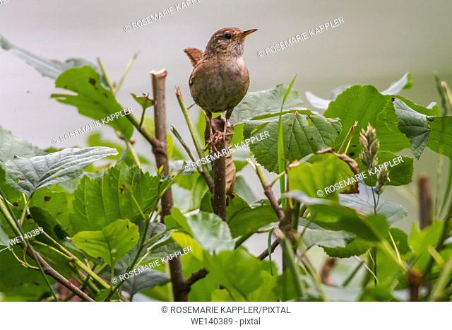 Germany, Saarland, Homburg, A wren is sitting on a branch