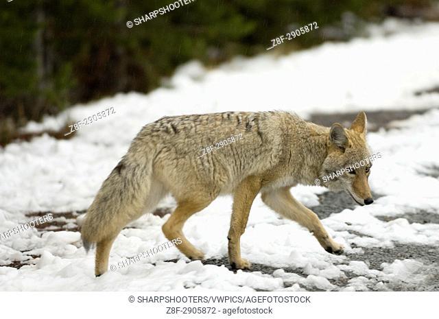 Coyote, Yellowstone National Park, Wyoming, USA