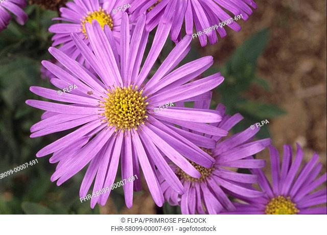 Aster Aster x frikartii 'Monch', close-up of flowers