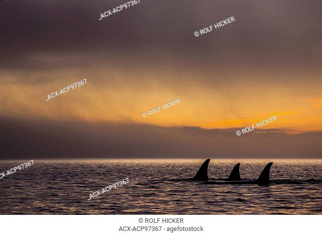 Group of 3 resident killer whale femals in Johnstone Strait during a colorful sunset, British Columbia, Canada