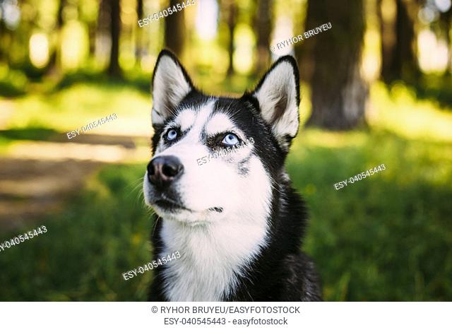Young Happy Husky Eskimo Dog Sitting In Grass Outdoor. Close Up Head. Summer Or Spring Season