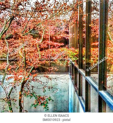 Japanese maple tree in autumn growing inside an office building atrium reflecting in the row of windows