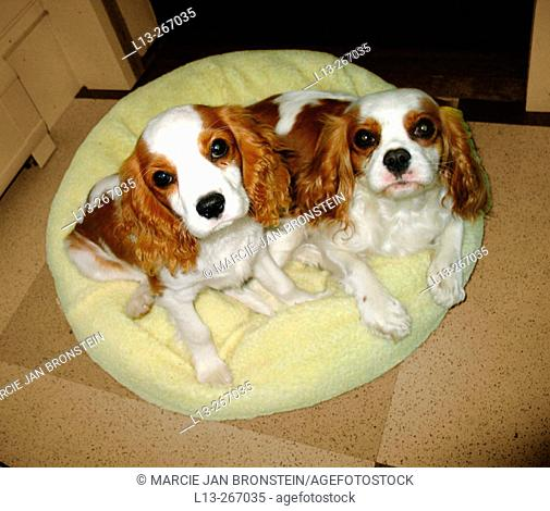 Cavalier King Charles dogs