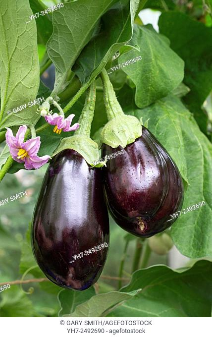 Home grown greenhouse aubergines, 'Bonica'