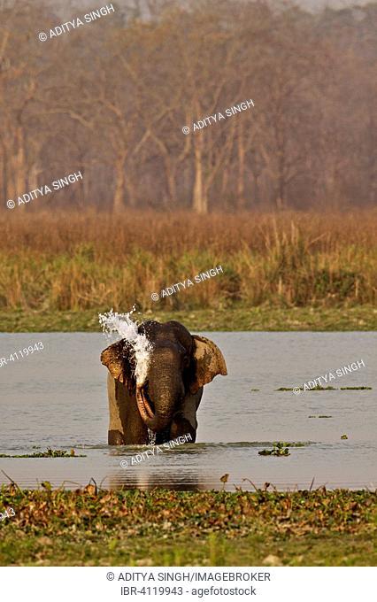 Asian or Asiatic Elephant (Elephas maximus) in a waterhole in the grasslands, Kaziranga National Park, Assam, India