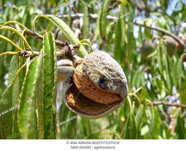 Almond tree (Amygdalus communis)
