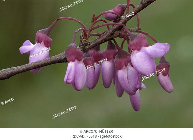 Judas Tree Cercis siliquastrum